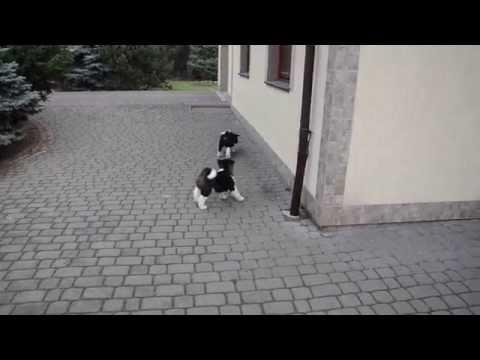 American Akitas - puppies  DSC 0015