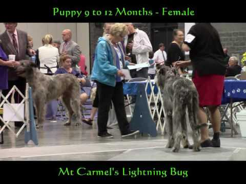 10-02-2016 Hot Springs National Park Kennel Club - Irish Wolfhounds