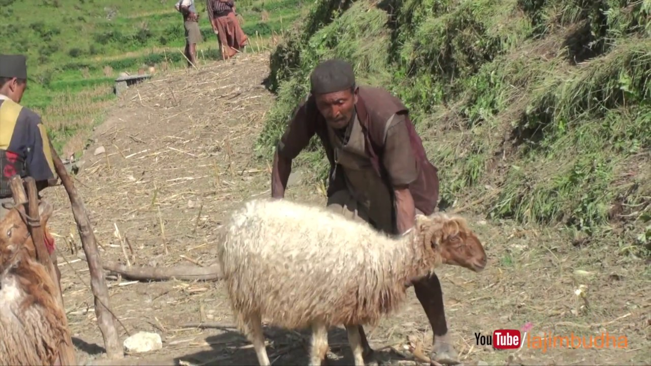 carry sheep for wool shearing