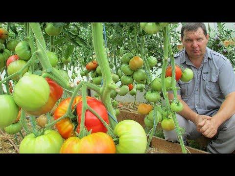 Проверенные сорта томатов | завязывались | урожайные | удобрение | подкормка | помидоры | томатов | помидор | урожай | томаты | огород