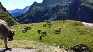 Symphony of Cow Bells in the Swiss Alps