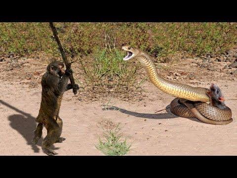 Happy Cats Discovery Animals - Snake vs Porcupine, Elephants & Crocodiles - Real Fight attacks -