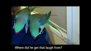 Alexandrine Parrot talking and laughing