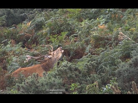 One Of Exmoor's Finest Stags - October