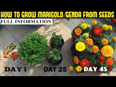 How To Grow Marigold From Seeds (With Full Updates)