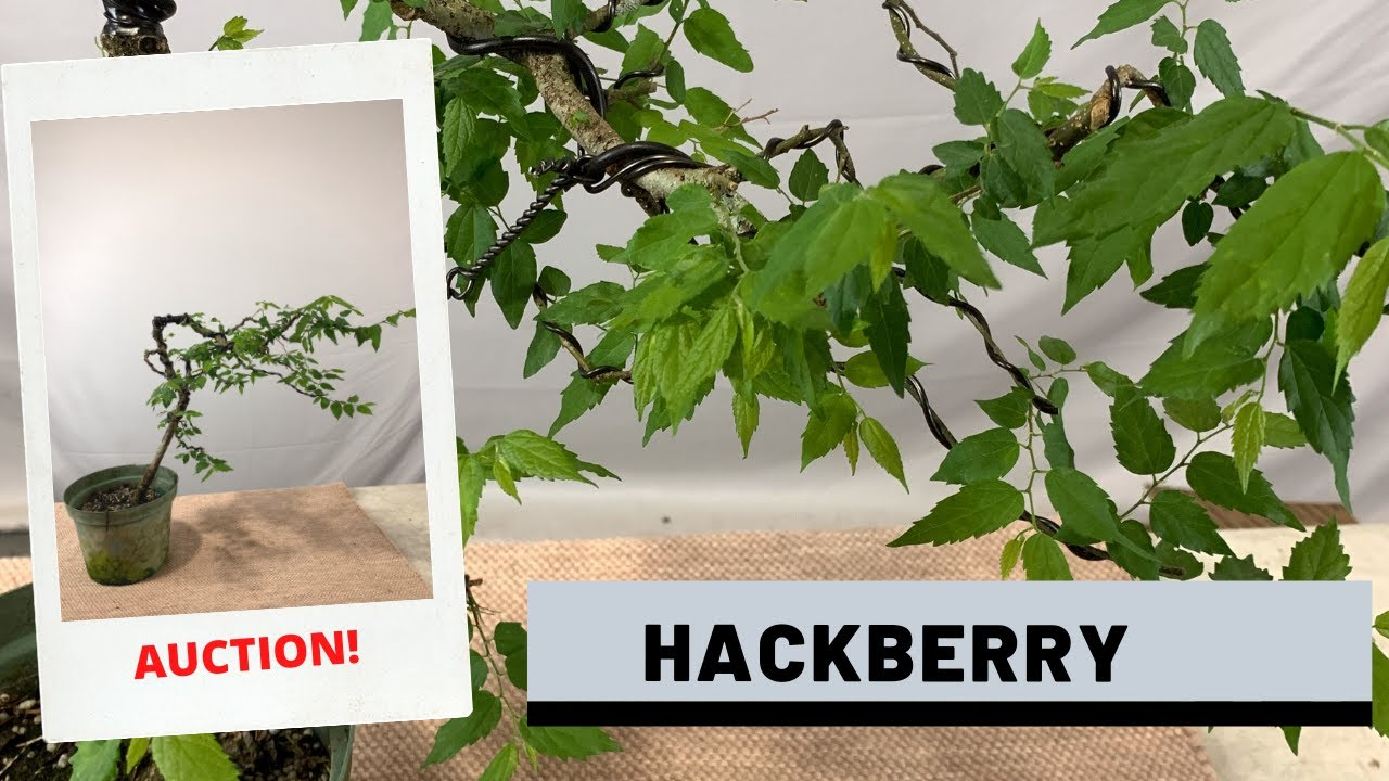Styling a Hackberry Bonsai (Auction 11) | The Bonsai Supply