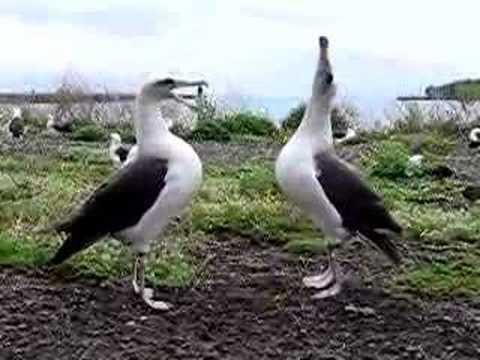 Laysan Albatross Dance