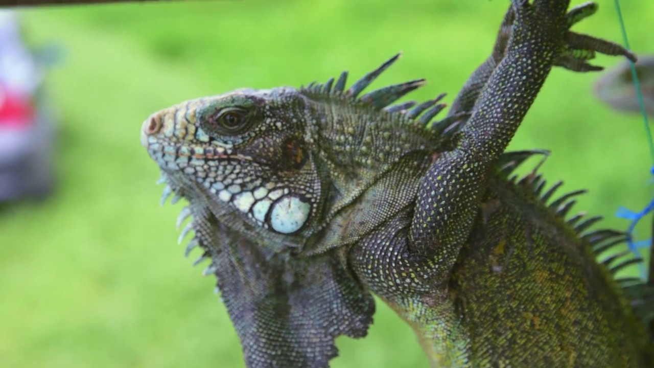 jamaican iguanas The portland bight protected area is home to the iconic jamaican iguana and 20 other endangered species its fragile coastal ecosystem and wildlife faces the risk of being lost for ever as jamaica approves a chinese company to.