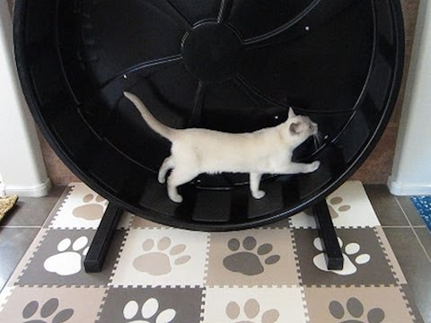 Tonkinese Late Night Jogging in Cat Exercise Wheel [HD]