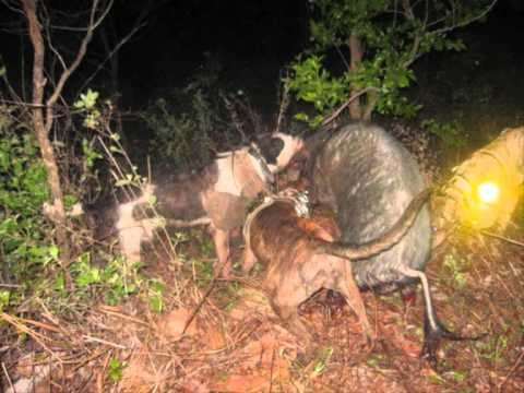 helicopter pig hunting australia with Yecyx0rwh7e on Pig Huntingmangamukacolin Blade Nortoncg 838a8a7b608380da741a31 furthermore 6yq8QiaCA1M further 1jci2TfLIOw further Pig Hunt Nt besides 2017.