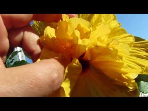 Секреты обильного цветения ГИБИСКУСА. Уход и размножение.