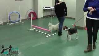desensibilisation 2 duke le beagle