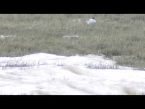 Roseate Tern 14th May 2016