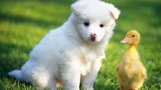 Ducks Playing With Dogs Compilation 2014 NEW