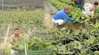 Hongo Fusarium Raza 4 Tropical