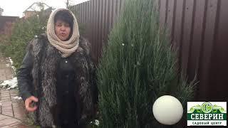 Подготовка хвойных к зиме
