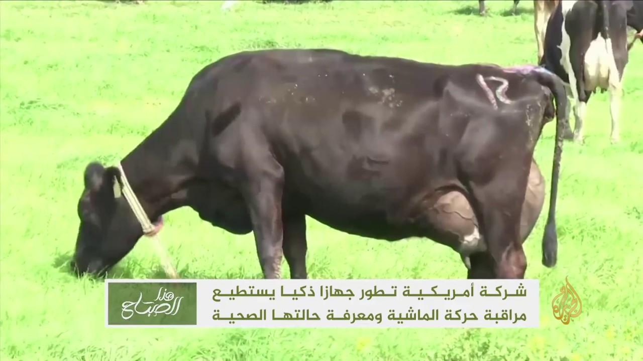 الجزيرة:هذا الصباح-جهاز ذكي يتتبع الماشية ويهتم بصحتها