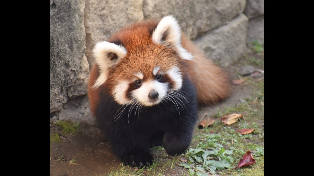 【八木山動物公園】 ぬいぐるみのような双子のレッサーパンダの赤ちゃん