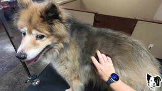 I've Only Seen This ONCE Before In 11 Years Of Grooming | 15 Year Old Senior Dog [CC] (rev)