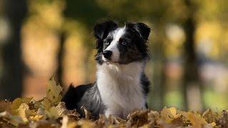 ** Australian Shepherd Puppy Training ** Wow!!!
