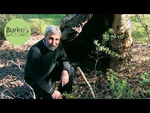 Burke's Backyard, Old Husband's Tales - Hollow Trees