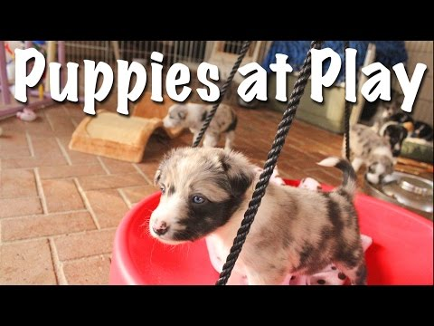 EC's Border Collie Puppies Playing