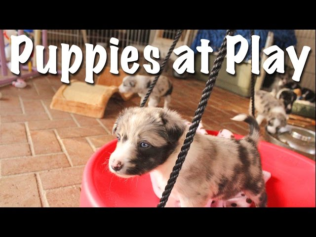 EC's Border Collie Puppies at Play