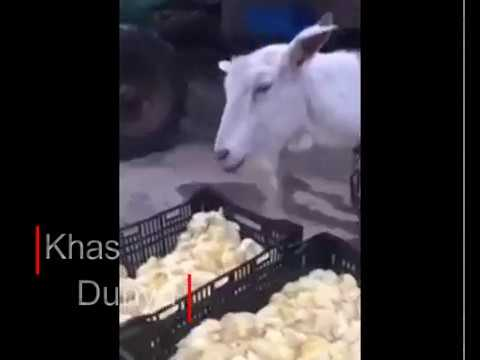 Unbelievable Goat Eating Live Baby Chicks Youtube