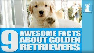 9 Awesome Facts About Golden Retrievers!