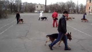 Бордоский дог - тренировка, обучение (Молли -1,5 года)