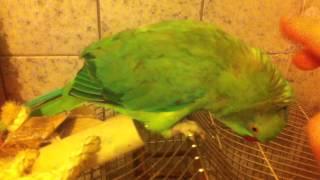 Приручение попугая к рукам.(, 2013-03-04T18:28:29.000Z)