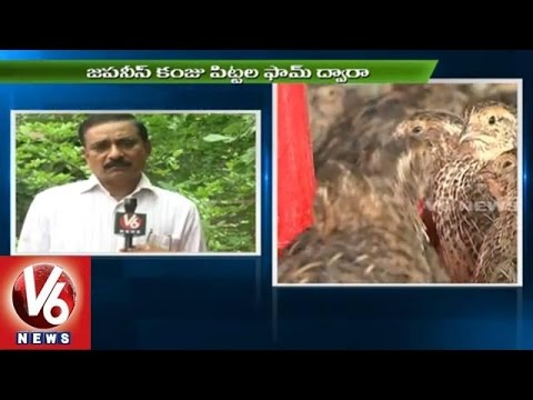 Techniques for Poultry Farming l Japanese Quail Birds  | V6 News