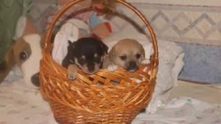 Самая маленькая собака в мире Чихуахуа. А какие они милашки!