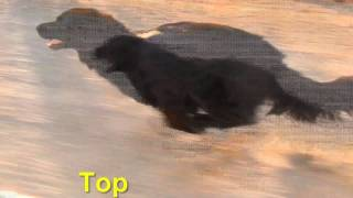 Brego  top speed 51 km/h  Flat Coated Retriever X Border Collie