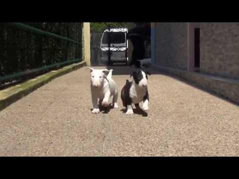 Excursion a los 47 dias de vida [ Bull Terrier ]