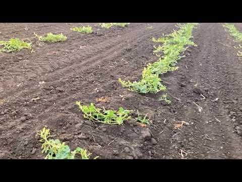 Выращивание арбузов на суходоле. А толкового дождя все нет.