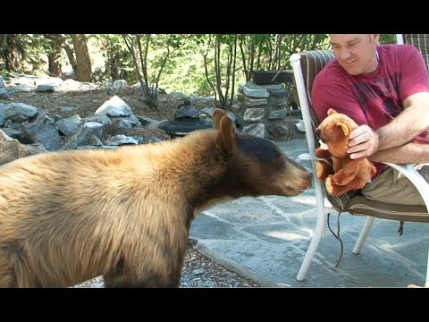 Feisty Pet Plush Bear Attacked by Wild Bear, invades family cabin (by William Mark Corporation)