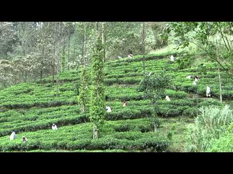 Sri Lanka Tea Estate and Meditation Centre (HD)