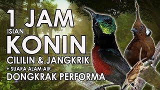 TERAPI KONIN BUKA PARUH ISIAN CILILIN JANGKRIK Mastering 1 JAM HD