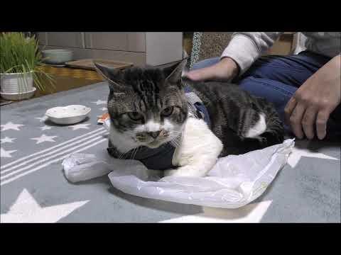 パパの策にはハマらない猫リキちゃん☆キャリーバッグに入りたくない猫VSしまっちゃうおじさん【リキちゃんねる 猫動画】Cat video キジトラ猫との暮らし