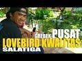 Lovebird Bagus Belum Tentu Juara Kalah Tapi Bangga  Mp3 - Mp4 Download