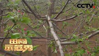 《田间示范秀》 20200423 黄土高原上的苹果园|CCTV农业