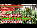 Perawatan Lovebird Single Fighter Dari Usia Balibu  Mp3 - Mp4 Download