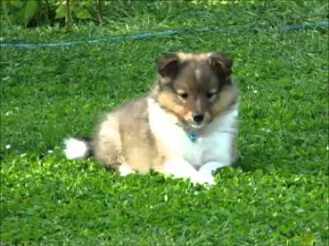 8,5 week old sheltie puppies playing in the garden