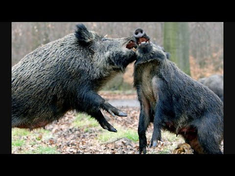 Deer And Wild Boar Hog Bowhunting At Wilderness Hunting Lodge Monterey, Tenn