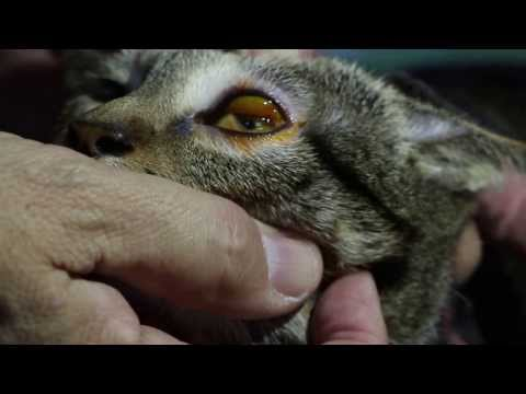 Cloudy Eye In Cats Natural Treatment