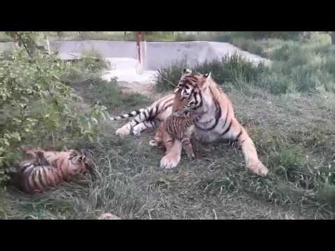 видео дети тигра амура