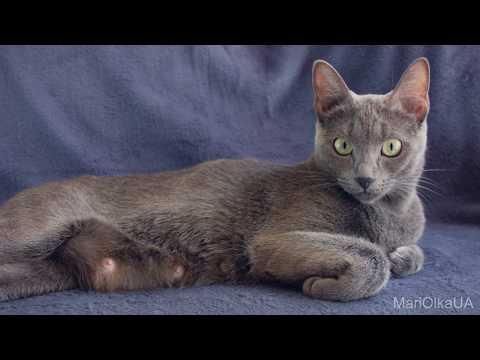 Russian Blue Cat 54