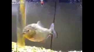 PIRANHA (Red Belly) *VS* Mouse -Live Feeding