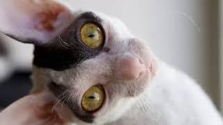 Cornish Rex  Cat Breed  Pet Friend